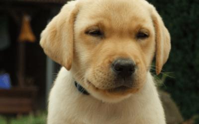 Labrador Welpen aus dem Tierheim – Findest Du Deinen neuen Freund?