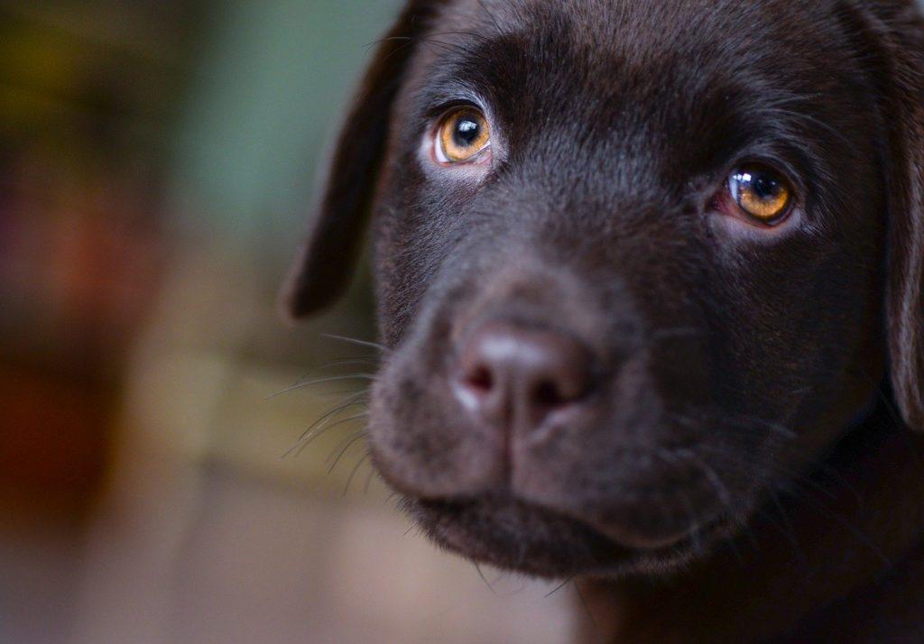 Labrador Welpen Durchfall
