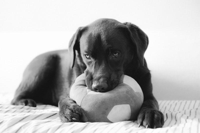Welpen allein lassen – Übungen mit dem Labrador wegen Arbeit & Co.